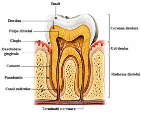 ligamentul parodontal
